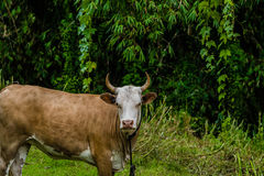 Closeup of a brown and white heifer Royalty Free Stock Photography