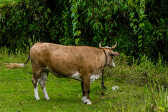 Closeup of a brown and white heifer Royalty Free Stock Photos
