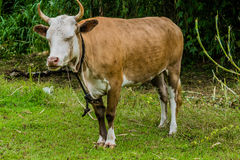 Closeup of a brown and white heifer Stock Photo