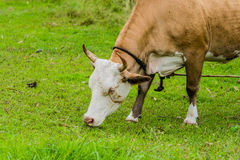 Closeup of a brown and white heifer Royalty Free Stock Images