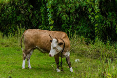 Closeup of a brown and white heifer Royalty Free Stock Photo
