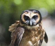Closeup of brown wood owl. Closeup detail of brown wood owl strix leptogrammica stock images