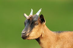 Closeup of brown young goat Royalty Free Stock Photography