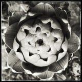 Closeup of a budding artichoke, monochrome Royalty Free Stock Photos