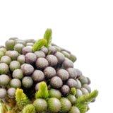 Closeup of budding brunia Stock Photos