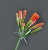 Budding Clivia on gray Royalty Free Stock Photo