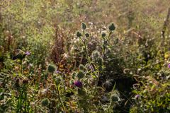 Budding, blooming and overblown thistle from close Royalty Free Stock Image