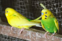 Closeup of budgerigar Royalty Free Stock Photos