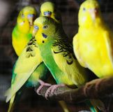 Closeup of budgerigar Stock Photos
