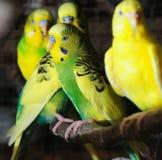 Closeup of budgerigar stock photos