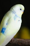 Closeup of budgerigar Royalty Free Stock Photography