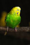 Closeup of budgerigar Stock Image