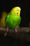 Closeup of budgerigar Stock Image
