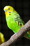Closeup of budgerigar Royalty Free Stock Image