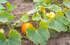 Organically cultivated pumpkin plants in the field from close. Closeup of buds, yellow blossoms and an one orange fruit of organically grown pumpkin plants in a stock photo