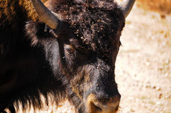 Closeup of a Buffalo Royalty Free Stock Photos