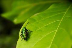 Beautiful bug on green leaf. Closeup  bug on green leaf Stock Images