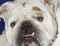 Closeup Of Bulldog Stock Photography