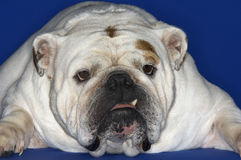 Closeup Of Bulldog Lying Down Royalty Free Stock Photo