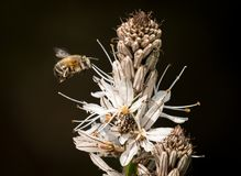 Closeup of a bumble bee approaching the white blossoms of Asphodelus royalty free stock photo