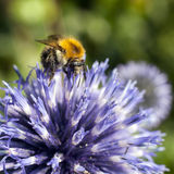 Closeup of bumble bee on purple thistle. Or Echinops bannaticus Royalty Free Stock Photos