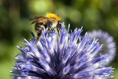 Closeup of bumble bee on purple thistle. Or Echinops bannaticus Royalty Free Stock Photo