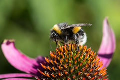 Closeup of a bumblebee (Bombus) on a flower Stock Photo