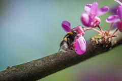 Closeup of a Bumblebee Bombus pascuorum harvesting pollen from pink Judas-tree Cercis siliquastrum blossom in a spring day. stock images