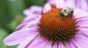 Closeup of a bumblebee on an echinacea flower (Echinacea purpure. Macro of a bumblebee (bombus) resting on the paleae of a purple echinacea flower (Echinacea Royalty Free Stock Photography