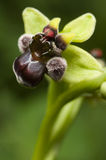 Closeup of bumblebee orchid Stock Images