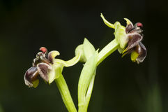 Closeup of bumblebee orchid Royalty Free Stock Photography