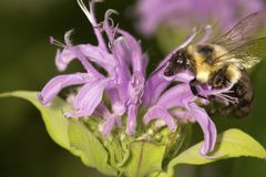 Bumblebee burying its head inside a bergamot flower. Royalty Free Stock Photo