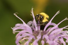 Bumblebee foraging on a lavender bergamot flower. Royalty Free Stock Photos