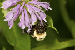 Bumblebee foraging on a lavender bergamot flower. Stock Photo