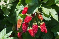 Bunch of boysenberries ripening on boysenberry bush. Closeup of bunch of boysenberries ripening on boysenberry bush stock photography
