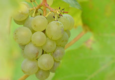 Closeup bunch of grapes on grape plant Stock Photo