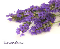 Closeup of a bunch of lavender flowers Stock Images