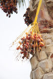 Closeup of a bunch of orange and dark brown dates Stock Photography