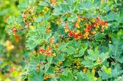 Closeup of a bunch of red currant. Almost red stock photography