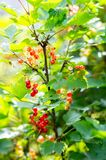 Red currant berries. Closeup of a bunch of red currant royalty free stock photography
