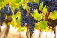 Closeup of bunch of red grape Royalty Free Stock Photo