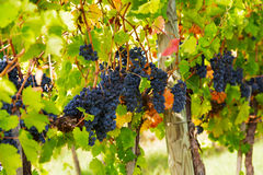Closeup of bunch of red grape Stock Photography