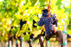 Closeup of bunch of red grapes ripe on the vine. Stock Photography
