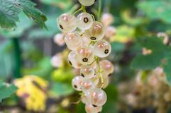 Closeup of bunch of ripe white currant on the shrub. The currant is one of the most widespread berry shrubs of the Russian garden. It grows practically in all Stock Photo
