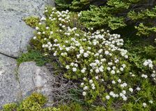 Labrador Tea plant with white clustered flowers. Closeup of a bunch of tiny white clustered flowers on a low growing Rhododendron groenlandicum shrub Stock Image
