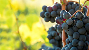 Closeup on bunches of black grapes in vineyards, Tuscany, Italy Stock Photos