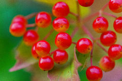 Closeup of bunches of red berries of a Guelder rose or Viburnum. Stock Image