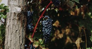 Closeup bunches of red grapes hanging in vineyard stock footage