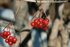 Closeup of bunches of red viburnum berries in winter stock photo