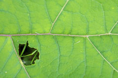 Closeup of a burdock leaf Stock Photos
